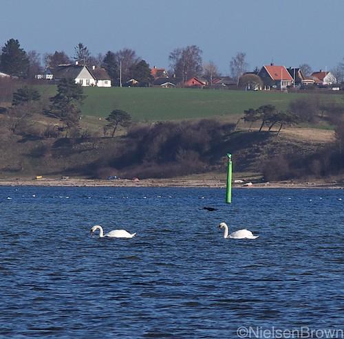 Swans in Roskilde Fjord