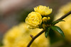 Yellow Rose (olvwu | 莫方) Tags: usa flower macro rose yellow ga georgia spring yellowflower yellowrose savannah jungpangwu oliverwu oliverjpwu olvwu jungpang 莫方 吳榮邦