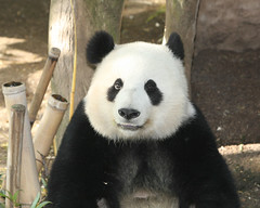 Mei Sheng left the US early this morning and is due to arrive in Shanghai at 7pm(3am Pacific Standard Time) (kjdrill) Tags: california bear usa giant zoo panda sandiego chinese pandas 43 endangeredspecies sdzoo meisheng diamondclassphotographer flickrdiamond