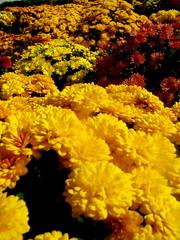 Mums (T_Wrecks) Tags: autumn fall newjersey nj sussexcounty idealfarms