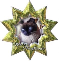 merry christmas (aliywhilly) Tags: christmas cats cute navidad chats pretty sweet kitty kittens gatos purr feliz lovely gatitos merrychristmas gatto katzen gatti kats siameses elreydemicasa