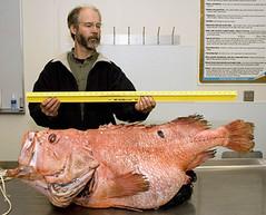 8 Alaskan shortraker rockfish