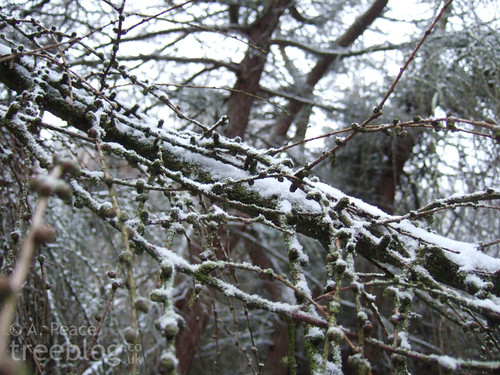snowy larch twigs