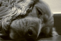 Non svegliare il can che dorme - Let sleeping dogs lie (pepe50) Tags: travel party bw italy dog macro apple cane canon puppy blackwhite flickr imac paolo sleep dream dreaming perro siesta cocker cockerspaniel carpi cucciolo dorme sogni tartufo fpc alfio letsleepingdogslie sognando golddragon mywinners abigfave eos400d canoneos400d anawesomeshot impressedbeauty superbmasterpiece megashot ysplix pepe50 comparealfio