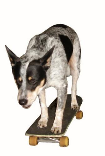 Skateboarding Dingo!