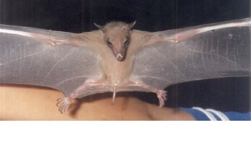 2229971211_f76b38e799 - CRAZY ABOUT BATS! - Science and Research