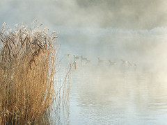 Mist-ical geese! - Thames path (macfudge1UK) Tags: uk winter england mist bird nature water river geese europe frost waterbird 2008 riverthames oxfordshire magicmoments brantacanadensis canadageese avian thamespath oxon takeabow blueribbonwinner swinford allrightsreserved outstandingshots mywinners abigfave anawesomeshot swinfordtollbridge diamondclassphotographer flickrdiamond citrit flickrelite betterthangood life~asiseeit