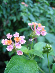 Pink Lantana (Arria Belli) Tags: pink flowers flower prison lantana salvation les bagne salvationislands lesdusalut