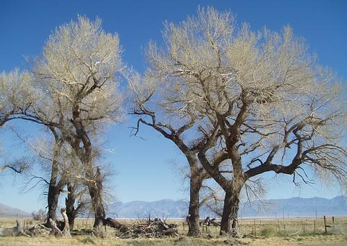 Olancha Trees