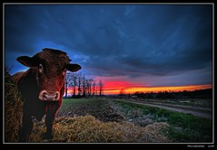 he's at it again (niccodeamus) Tags: cotswolds bull handheld hdr eveninglight 3raw southdevoncattle life~asiseeit