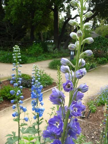 Delphinium (Palo Alto, CA)