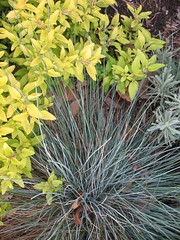 Golden Oregano and Blue Fescue