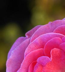 Megumi Pink Rose