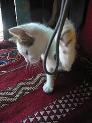 P1000449 (mudmucks) Tags: city kitten market fez imperial feselbali
