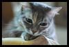 souzana (elgreko42) Tags: pink cute green cat photography grey eyes topv333 kitten topf75 topc50 relaxing posing domestic gato lovely excellence animalpet pet500 pet100 pet1000
