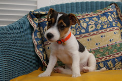 DOLLY-5 (Jean Michel Daoudal) Tags: dog terrier jackrussell dolly