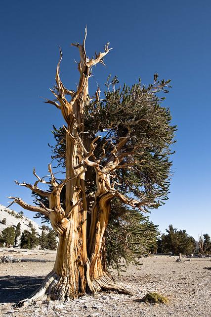 Bristlecone Pine #3