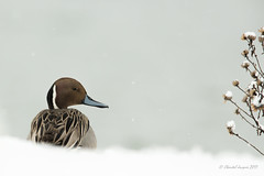Northern Pintail Winter Scene- The Wise One? (Chantal Jacques Photography) Tags: bokeh northernpintail wildandfree winterscene depthoffield thewiseone birdscape theelegantone