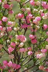 Lanternbush (Nymania capensis) (berniedup) Tags: lanternbush nymaniacapensis plant meliaceae taxonomy:binomial=nymaniacapensis derust