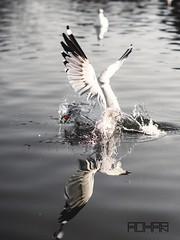 (Rohan2021) Tags: bird lake hunt dive capture canon 50mm 12l 550d splash