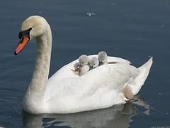 [フリー画像] [動物写真] [鳥類] [白鳥/ハクチョウ] [親子/家族] [雛/ヒナ]      [フリー素材]