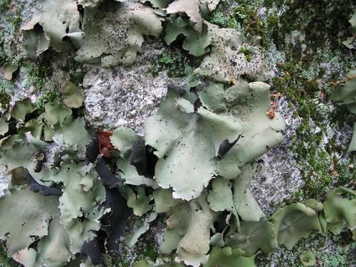 cabbage lichen