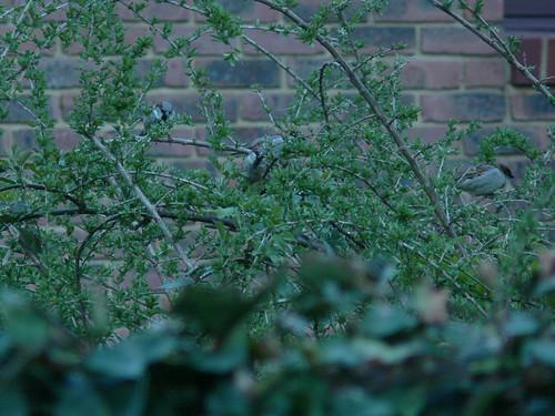 4 sparrows
