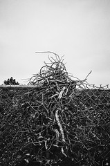 (Annabelle Marcovici) Tags: blackandwhite bw film fence washington vines knot tangle olympusxa wallawalla easternwashington