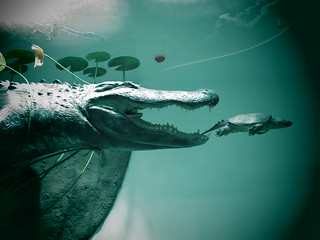Alligator vs. Turtle
