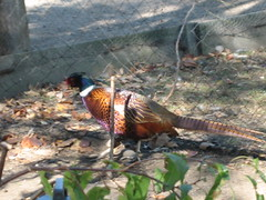 pheasant at the farm