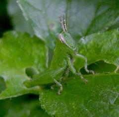 (FabAchi) Tags: macro green nature closeup bug insect camouflage grasshopper herbivore
