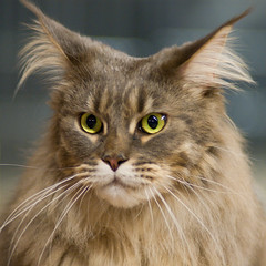 Maine Coon (peter_hasselbom) Tags: portrait cats cat hair explore mainecoon catshow flickrsbest cc100 cc1000 kungsbacka07 cc20000