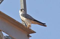 032054-IMG_4822 Grey Falcon (Falco hypoleucos) (ajmatthehiddenhouse) Tags: greyfalcon grayfalcon falcohypoleucos falco hypoleucos sa southaustralia bird 2007 australia