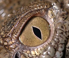 Crocodile Eye (A.Alshatti) Tags: macro eye animal animals work nikon d70 flash crocodile 28 kuwait 105  vr kuwaiti 2007 q8 kui abdullah voluntary  105mm naturesfinest picturecollection kuw vwc alshatti removedfromnikkorfortags specanimal    twinflash