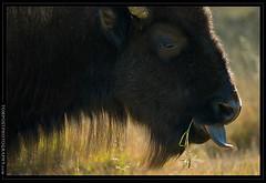 Bison Tongue (tompost) Tags: backlight mammal buffalo wildlife yellowstonenationalpark yellowstone backlit bison americanbison americanbuffalo buffaloyellowstone yellowstonebison tompost yellowstonewildlife tompostphotography bisoneating backlitanimal