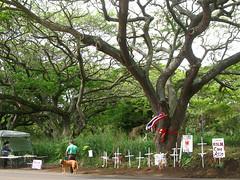 kauai monkeypods protest (fotogail) Tags: trees news nature hawaii pix protest kauai koloa fotogail monkeypod GAIL:williams=2007 nelsoncompanies