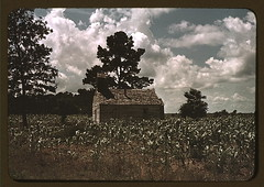 A Negro church in a corn [i.e. cotton] field, ...