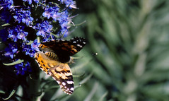 butterflies3 (eminamoto) Tags: sandiego migration ucsd paintedlady