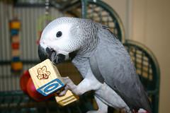Brutus (Cal Bear 94) Tags: bird parrot africangrey brutus verysmart talksalot