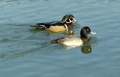 Monsieur Madame? (sofarsocute 'ignore faves ONLY') Tags: birds vancouver duck pato stanleypark mandarinduck aixgalericulata anatra canardbranchu