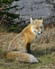 Red Fox - Mount Rainier Nat'l Park (Dave Stiles) Tags: wildlife explore fox redfox stiles vulpesvulpes specanimal empyreananimals theperfectphotographer bestofanimals