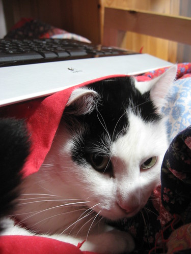 Loki, under a blanket. There is a keyboard resting on his head, and he's peering out with a look that spells Trouble.