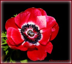 **Windflower...the forsaken** (Queenscents) Tags: red white flower macro green nature leaves sign japan leaf petals bravo flickr purple signature border petal explore anemone frame soe blueblack darkbrown mywinners shieldofexcellence platinumphoto queenscents theperfectphotographer
