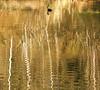 IMG_9231 (jodi_tripp) Tags: trees reflection nature golden duck pond ripples tripp jodi klineline challengeyouwinner wwwjoditrippcom photographybyjodtripp