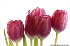 Brigade (m.artau) Tags: stilllife flower macro nature closeup composition spring nikon tulip