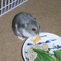 チーズを食べるコー太