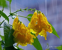 Rain of love (Anuj Nair) Tags: flowers flower rain yellow poem waterdrops anujnair rainoflove