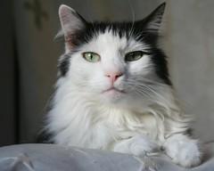 miss moon strikes a pose (photocatt) Tags: cats cat feline felines missmoon impressedbeauty