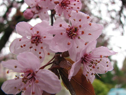 Wet Cherry Blossoms