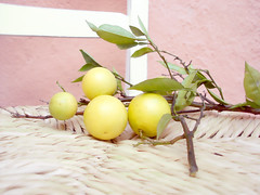 ramo de laranjeira